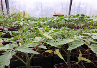 a lot of tomato seedlings in 2 inch pots . similar looks but once they produce fruit they'll be all different